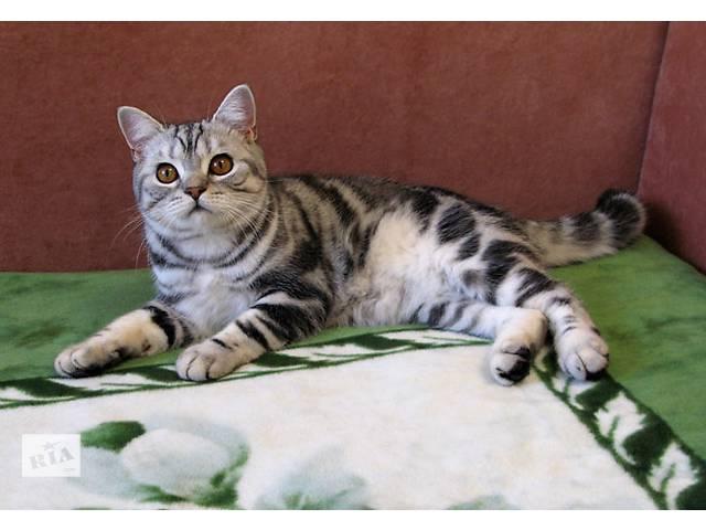 продам Классический МРАМОР. Британские котята бу в Днепре (Днепропетровск)