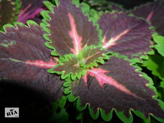 продам Колеус Блюме комнатные растения  для зимних садов,лоджий бу в Днепре (Днепропетровск)