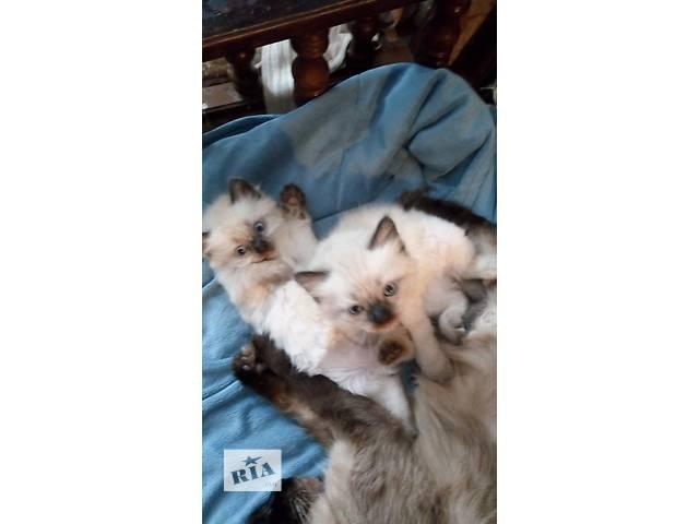 Котята породы рэгдол- объявление о продаже  в Киеве