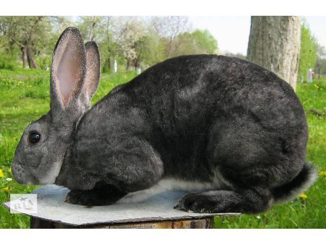 купить бу Кролики Рекс в Дрогобыче