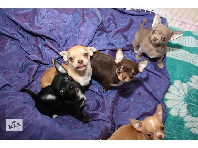 бу щенки  чихуахуа в Чернигове