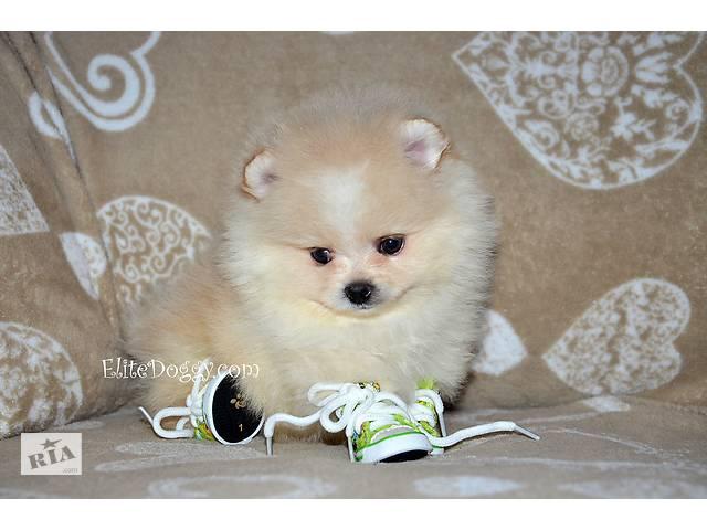 продам Девочка белого померанского шпица (цвергшпиц) тип мишка, доставка бу в Кривом Роге (Днепропетровской обл.)