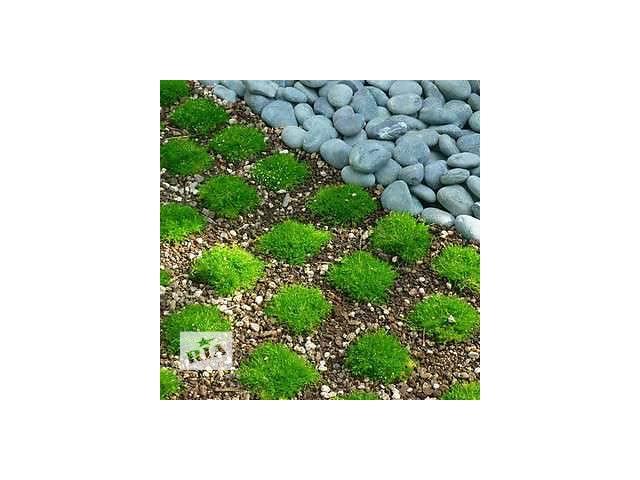 Мшанка Шиловидные, Ирландский мох, Sagina Subbulata.- объявление о продаже  в Львове