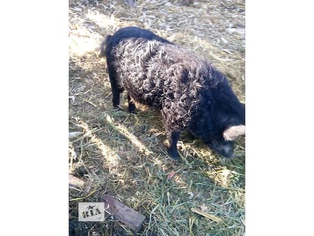 бу Мясные свиньи в Брусилове (Житомирской обл.)