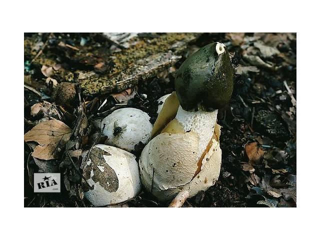 купить бу Мицелий веселки обыкновенной - семена грибов для выращивания как в домашних условиях, так и на предприятиях в Киеве