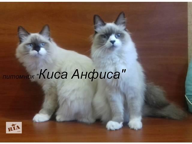 купить бу Невские маскарадные котята  в Полтаве