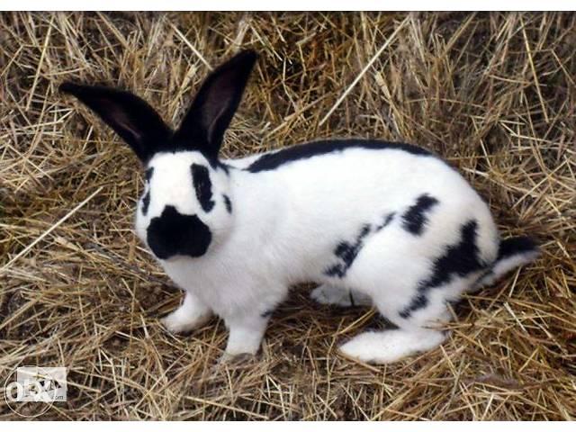 бу Кролики-Строкачи, Словакия в Одессе