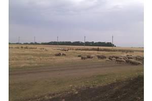 Барани, вівці