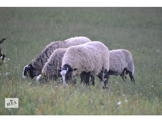 Овцы  романовской породы- объявление о продаже  в Киеве