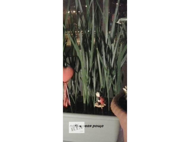 купить бу Пальмы комнатные в Харькове