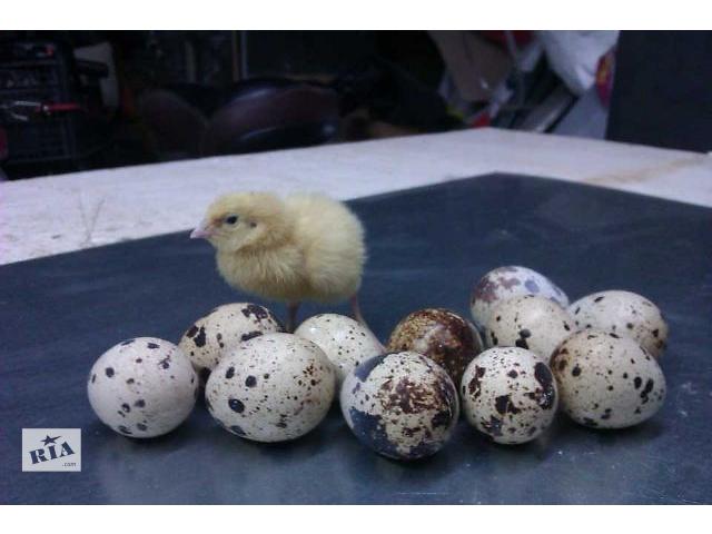 продам Перепела, яйца, клетки бу в Ковеле