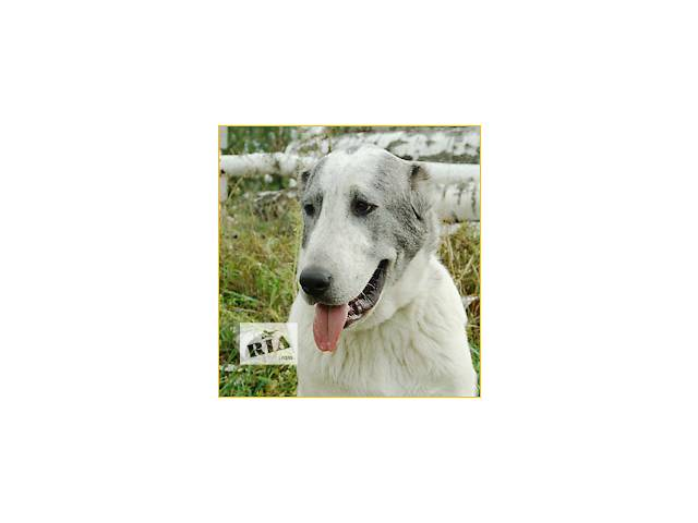 подрощенный щенок среднеазиатской овчарки (алабай)- девочка- объявление о продаже  в Киеве