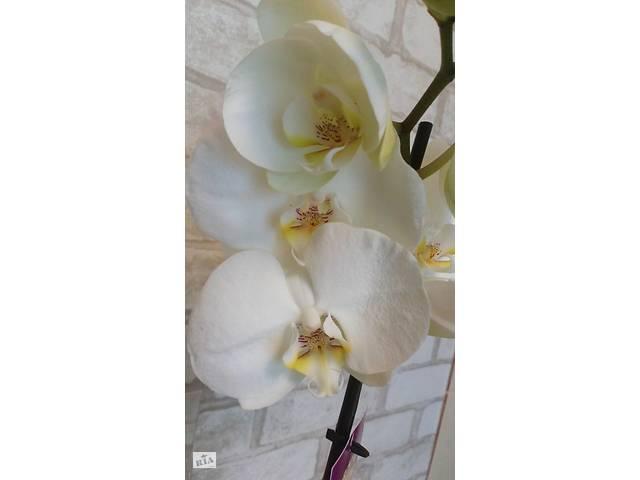 продам Фаленопсис цветущая  бу в Каменском (Днепропетровской обл.) (Днепродзержинск)