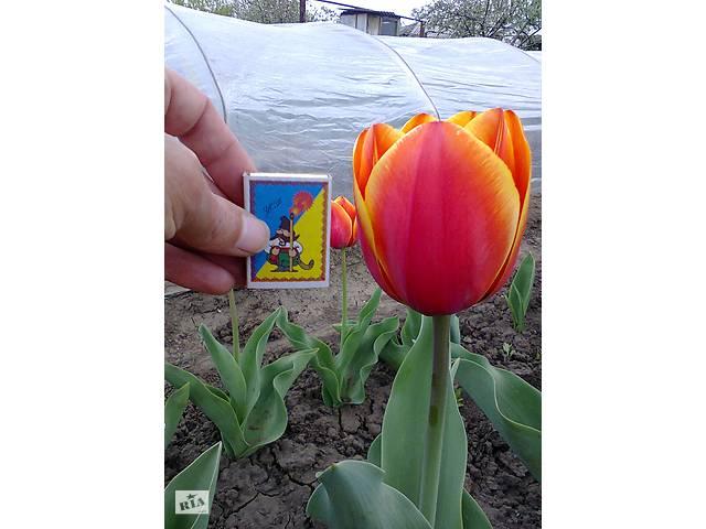 продам Луковицы тюльпанов Форготен Дрим бу в Марганце