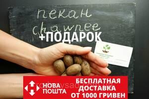 """Пекан (10 штук) сорт """"Chawnee"""" (средне-ранний) семена орех кария для саженцев(насіння)Carya illinoinensis"""