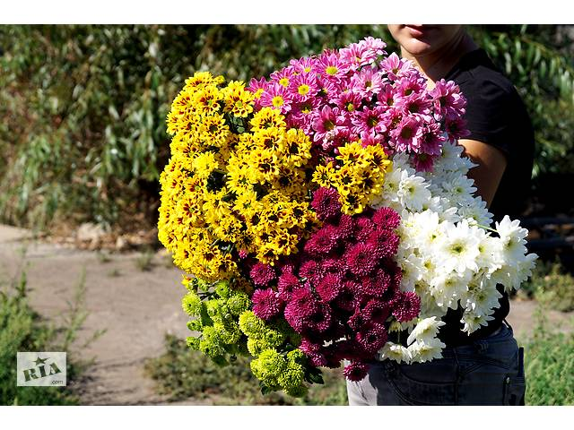 продам Продам черенок хризантемы оптом бу в Днепре (Днепропетровск)
