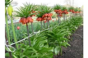 Квітучі цибулинні рослини