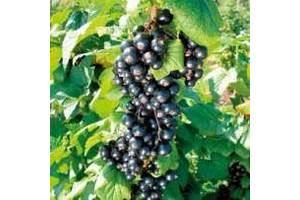 Саджанці чорної смородини