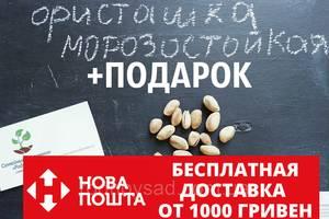Семена фисташки (10 штук) морозостойкой (-35°C) орехи Pistácia véra для сеянцев и саженцев + инструкции