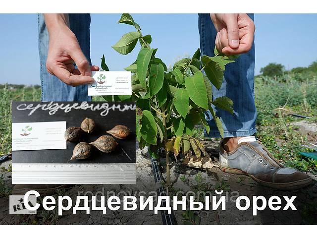 бу Сердцевидный орех саженцы (саджанці серцевидний горіх) с открытой корневой системой в Андреевке