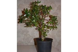 Вечнозеленые растения