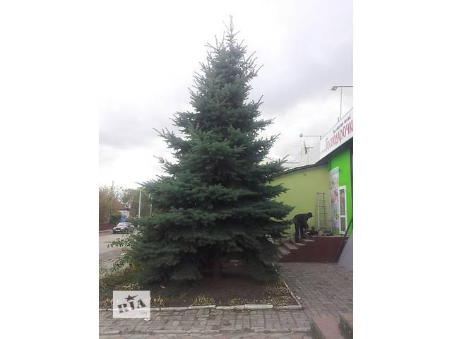 продам Предлагаю две красивые голубые елки бу в Демидовке (Ровенской обл.)