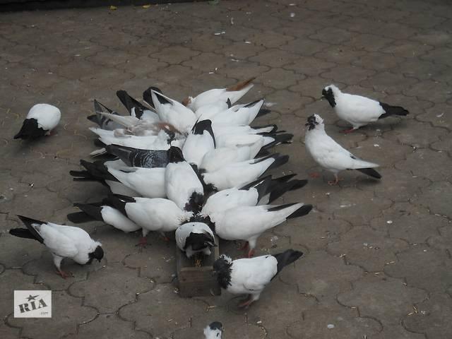 продам продам голубей бу в Селидово