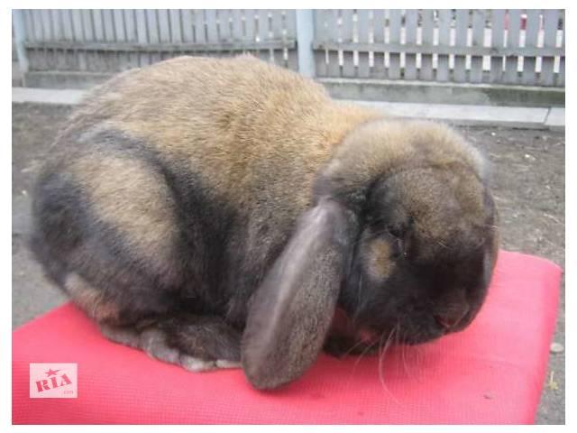 продам продам кроликов породи французский баран -венский голубой бу в Калиновке (Винницкой обл.)