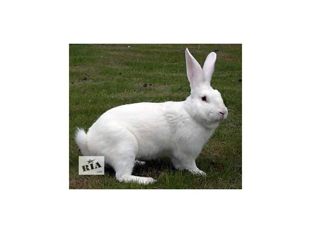 купить бу Продам кролики породы Термонська в Новом Роздоле