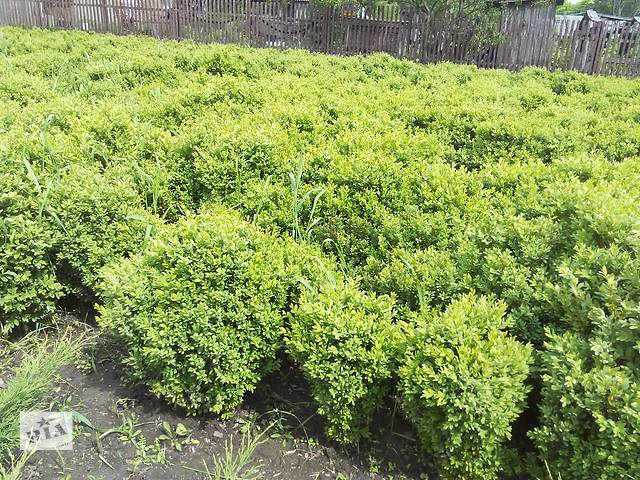 продам Продам самшит вечнозеленый бу в Харькове