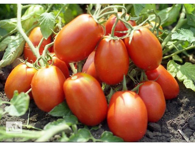 Продам семена Томат Рио Гранде (Sais Италия)- объявление о продаже  в Харькове