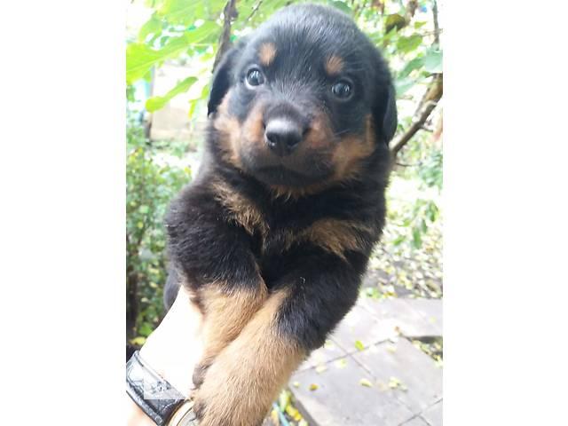 купить бу Продам щенков ротвейлера в Харькове