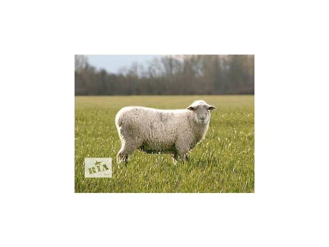 бу Продам стадо вівців в Снятине