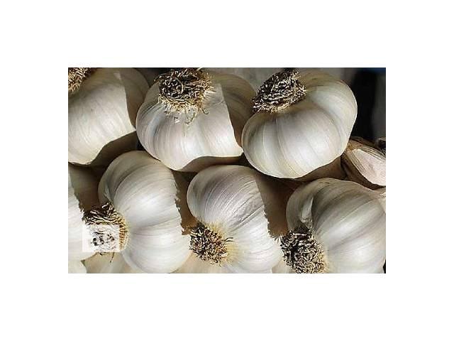 Продаю посадочный  сортовой чеснок- объявление о продаже  в Чернигове