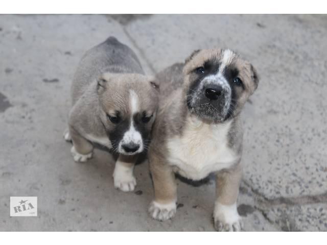 купить бу продаю щенков алабаев в Львове