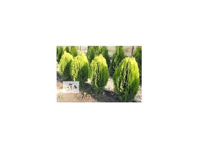 купить бу продаются декоративно лиственные растения в Сокирянах (Черновицкой обл.)