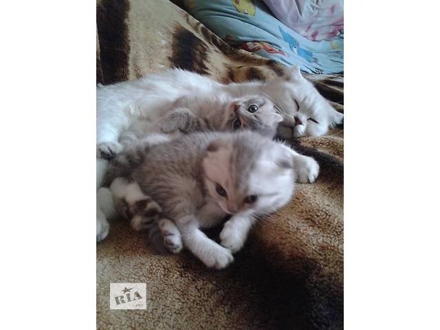 бу Продаются котята Скоттиш-фолд в Луганске