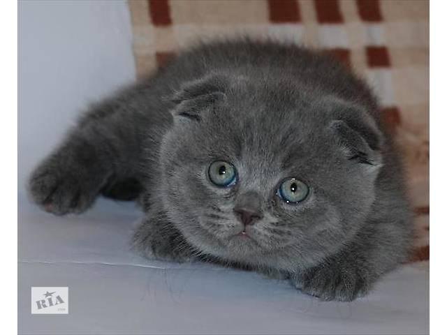 Продаются котята Скотиш Фолд разных окрасов.- объявление о продаже  в Днепре (Днепропетровск)