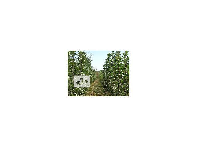 продам продаются саженцы плодовых деревьев бу в Сокирянах (Черновицкой обл.)