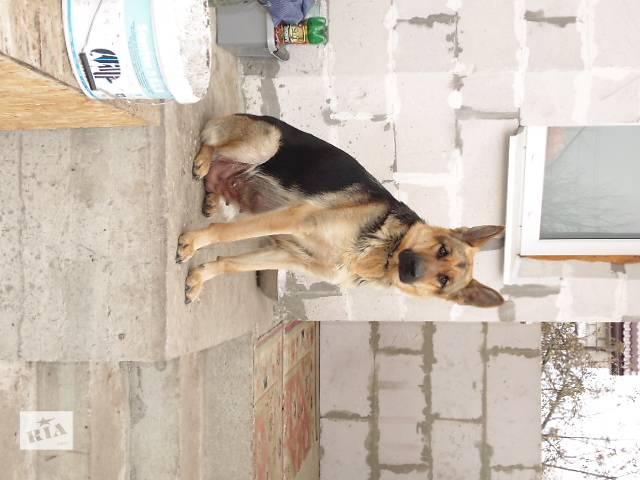 купить бу Продаются щенки немецкой овчарки в Житомире