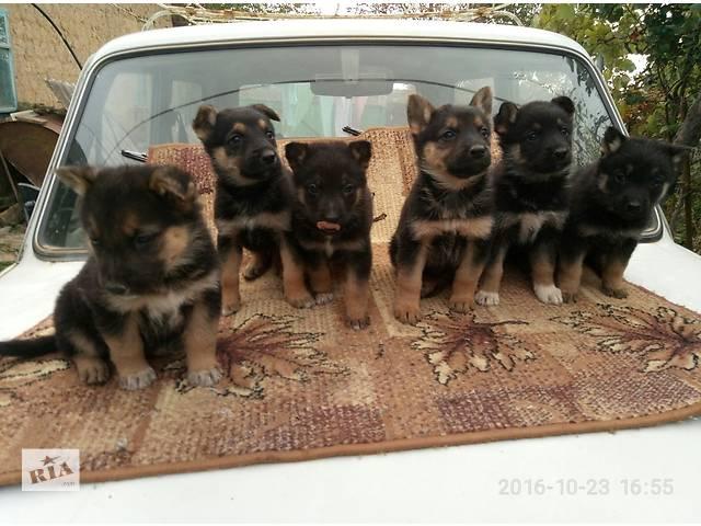 Продаются щенки немецкой породы- объявление о продаже  в Измаиле