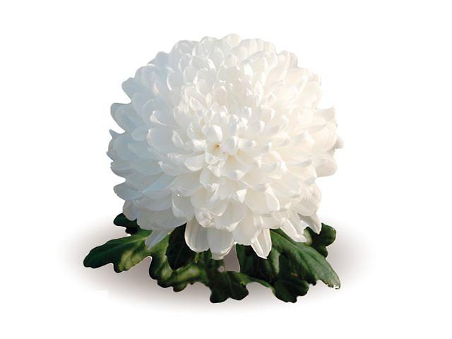 Продаются укоренённые черенки хризантем- объявление о продаже  в Мелитополе