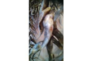 Бычок малосольный икряной азовский