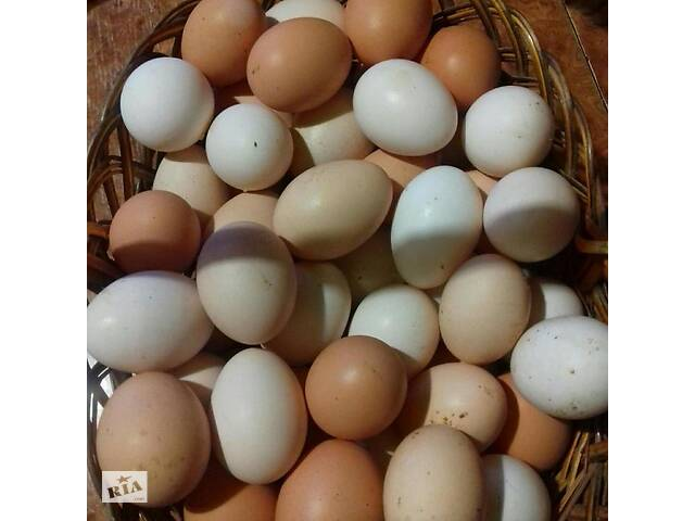 Домашние куриные яйца- объявление о продаже  в Шостке