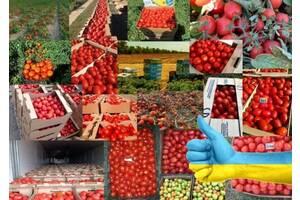 Lauko pomidoras (maltas) Ukraina, Chersono sritis, Chersonas