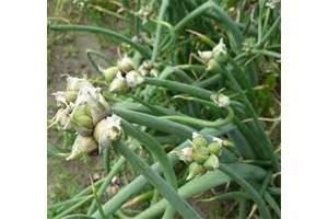 Многоярусный лук (цибуля) в наличии. Для ранней зелени