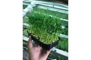 Микрозелень микрогрин растущий, срез, опт, для ресторанов, розница