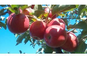 Яблуко дрібне