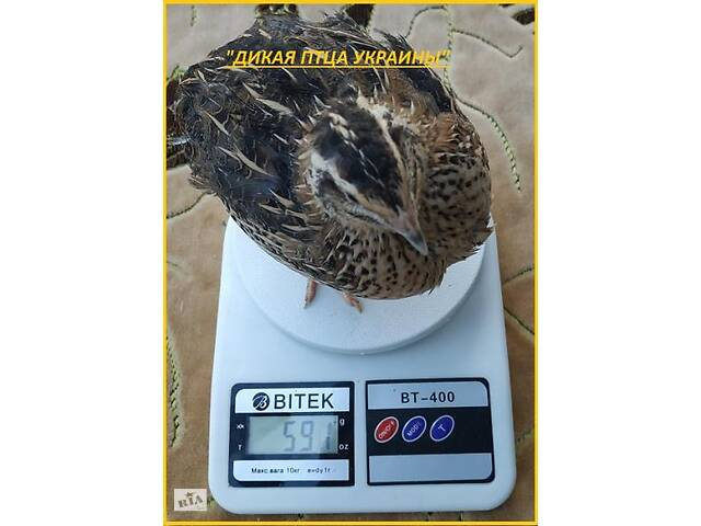 купить бу Яйце інкубаційні перепела Фараон (Espana). в Одессе