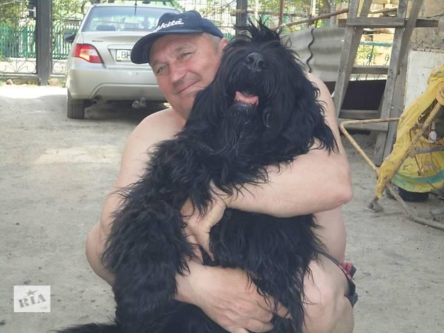 бу Русский чёрный терьер в Одессе